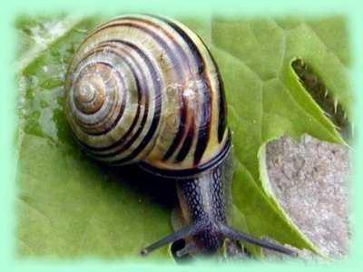 Qui n'aime pas les escargots dans ESCARGOT especes_escargot_bois
