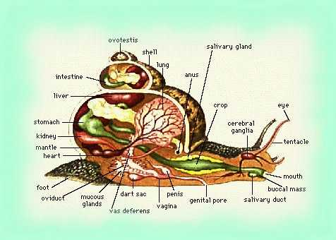 Snails anatomy